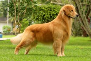 criadores de cães Golden Retriever